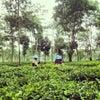 Foto Kebun Teh Wonosari, Malang