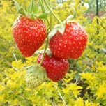 Photo taken at Strawberry Farm by Raphael Francis F. on 4/28/2013