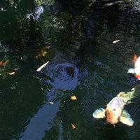 Selby gardens koi pond zoo in sarasota for Koi pool water gardens thornton