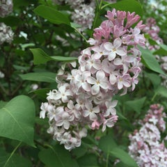 Photo taken at Highland Park Lilacs by Paul S. on 5/9/2015