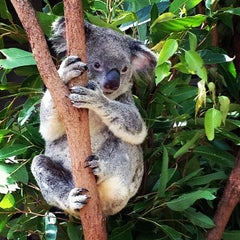 Photo taken at Lone Pine Koala Sanctuary by George O. on 1/8/2013