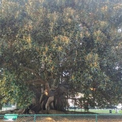 Photo taken at Moreton Bay Fig Tree by Kevin L. on 11/15/2012
