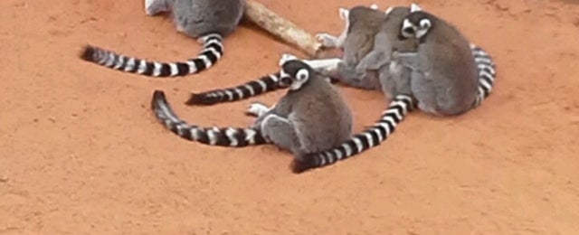 Photo taken at Lemur Exhibit by Amy T. on 8/11/2013