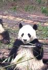 熊猫繁育研究基地   Chengd...