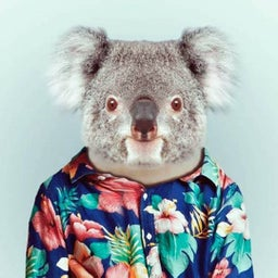 Hawaiian Koala